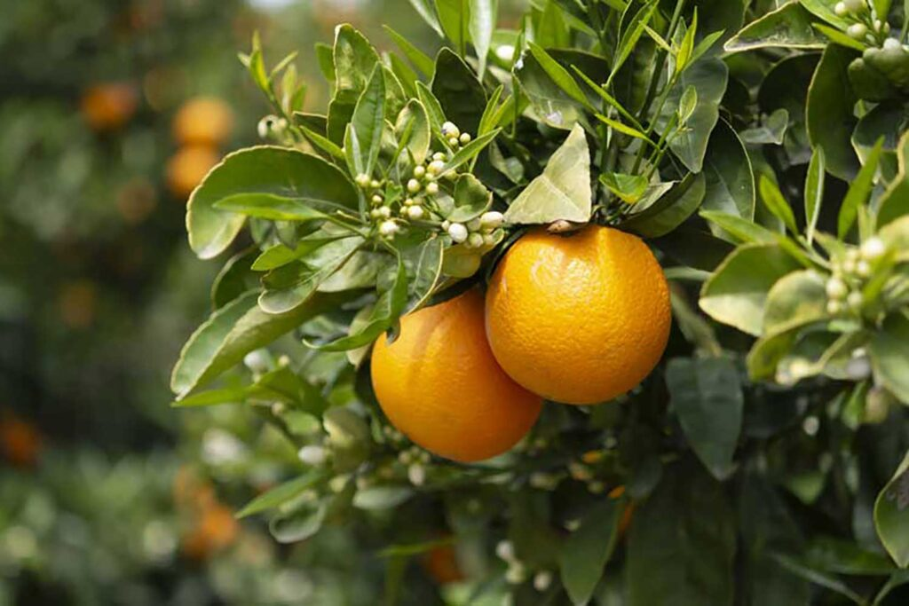 Laava Smart Fingerprints®, Australia to track citrus fruit exports using blockchain